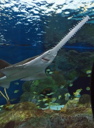 Sawfish or the Carpenter Shark Stock Photo - 18029736