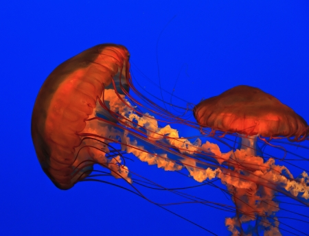 Jellyfish Swimming Stock Photo - 18030364