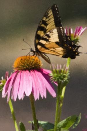 swallowtails: Swallowtail Butterfly on Purple Cone Flowers