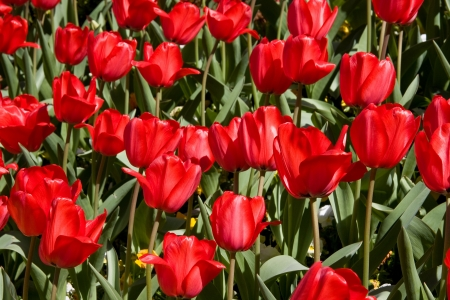 Red Tulips in a Garden Stock Photo - 18065370