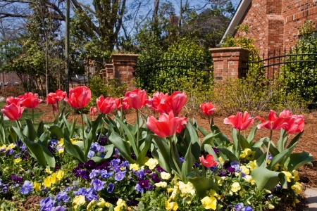 Yard of Red Tulips and Pansies Stock Photo - 18065371