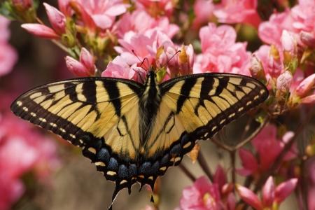 azaleas: Butterfly on Pink Azaleas in the Spring