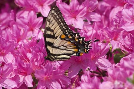 azaleas: Swallowtail Butterfly on Pink Azaleas Stock Photo