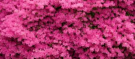 Pink Azaleas Panorama