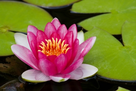 lilypad: Pink Water Lily