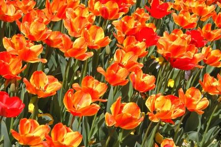 Yellow and Orange Tulips Stock Photo - 18092739