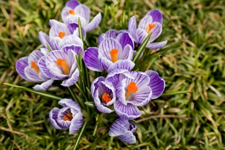 croci: Purple and White Crocus in the Spring
