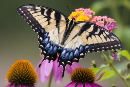 swallowtails: Tiger Swallowtail Butterfly on Cone Flowers Stock Photo