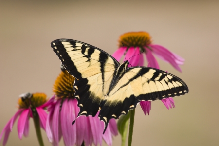swallowtails: Tiger Swallowtail Butterfly on Purple Cone Flowers Stock Photo