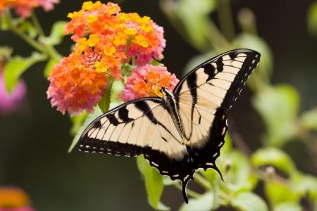 swallowtails: Butterfly on Orange Lantana