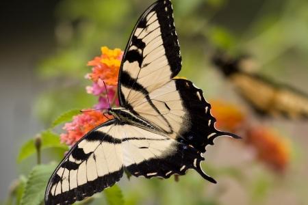 swallowtails: Swallowtail on Orange Lantana Flowers