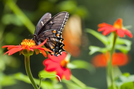 swallowtails: Black Pipevine Swallowtail on Orange Mexican Sunflower