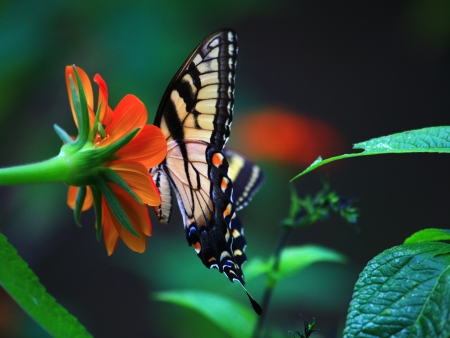 swallowtails: Side View of Butterfly on Mexican Sunflower Stock Photo