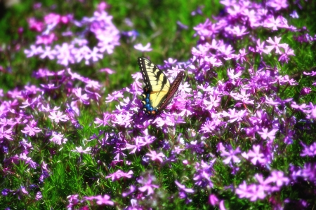 swallowtails: Swallowtail on Purple Phlox in the Spring Stock Photo