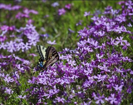 swallowtails: Swallowtail on Purple Phlox