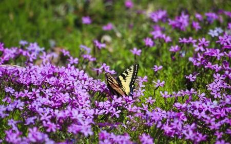 swallowtails: Purple Phlox in Bloom Attracting Butterflies