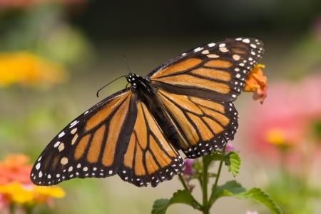 Monarch Butterfly Full Wing Open on Lantana photo