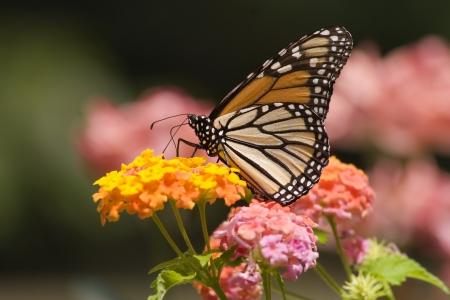 Pretty Monarch Butterfly on Pink Lantana photo