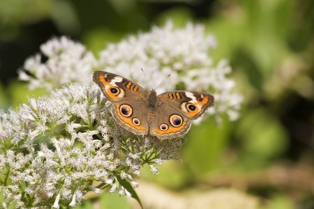 buckeye: Common Buckeye Butterfly