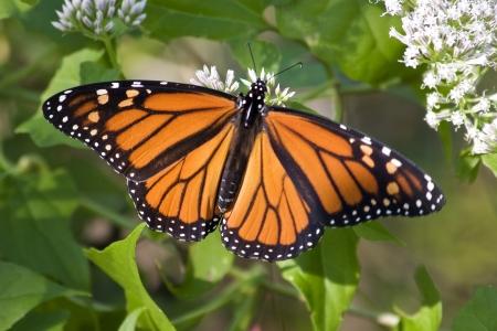 Monarch Butterfly Full Wing Open Stock Photo