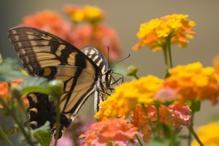 swallowtails: Butterfly on Orange and Yellow Lantana