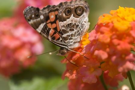 lantana: Painted Lady Butterfly on Lantana