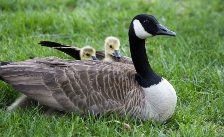 Baby Geese Hiding Under the Wings of Their Mother photo