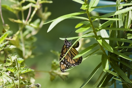 モナーク蝶のトウワタに卵を産む 写真素材 - 18143717