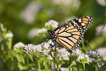 Monarch Butterfly on White Flowers photo