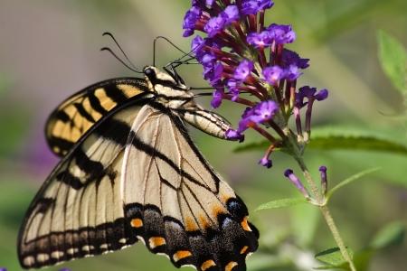 swallowtails: Butterfly on Purple Butterfly Bush