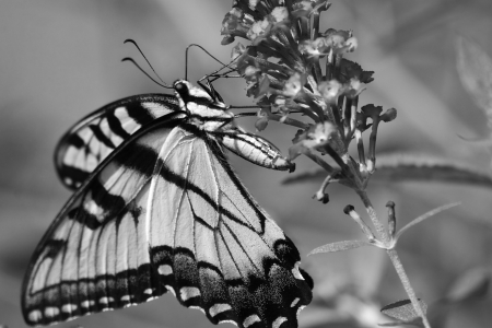 swallowtails: Butterfly on Butterfly Bush in Black and White Stock Photo