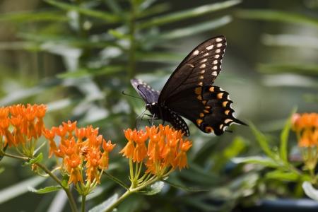 swallowtails: Black Swallowtail on Milkweed Stock Photo