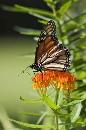 Monarch Butterfly on Orange Milkweed, Butterfly Weed