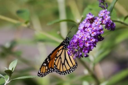 Monarch Butterfly on Purple Butterfly Bush photo