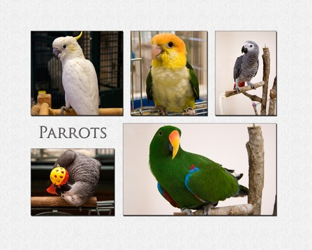 greys: Parrot Collage Stock Photo