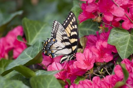 swallowtails: Swallowtail Butterfly on Pink Azaleas Stock Photo