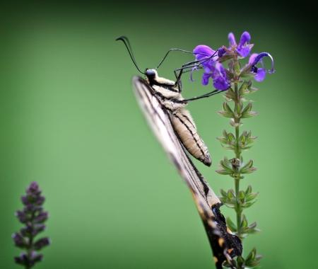 swallowtails: Swallowtail Butterflies Side View