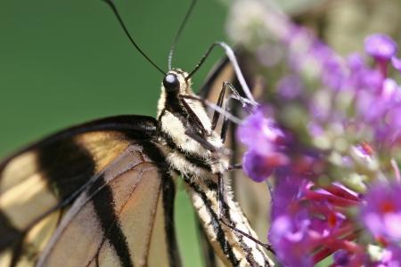 swallowtails: Butterfly Feeding on Flowers