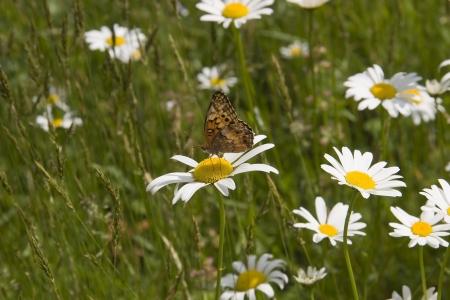 shasta daisy: Gulf Spangled Fritillary Butterfly on Shasta Daisy
