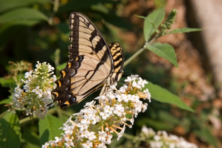 swallowtails: Swallowtail Butterfly on White Butterfly Bush