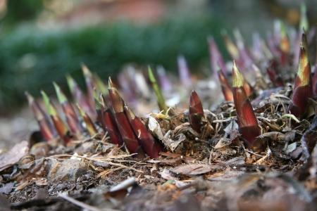 hostas: New Growth Hostas Coming up in the Springtime Stock Photo