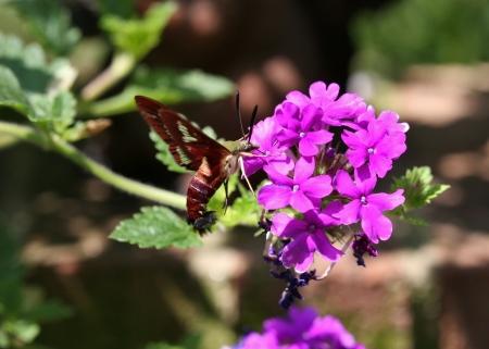 Hummingbird Moth at Purple Verbena 版權商用圖片