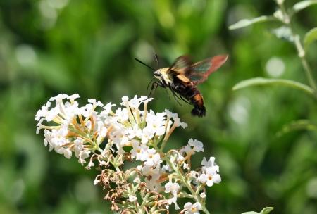 Hummingbird Moth at White Butterfly Bush