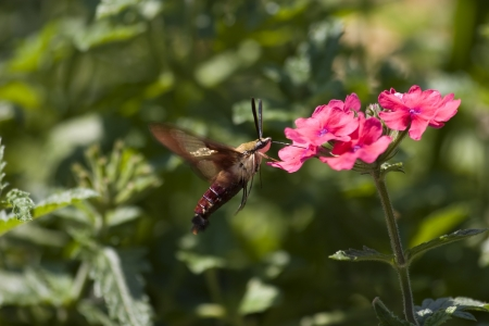 Hummingbird Moth at Pink Verbena