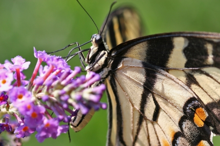 swallowtails: Pretty Butterfly Closeup