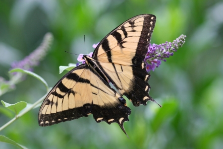 swallowtails: Butterfly Wings Open