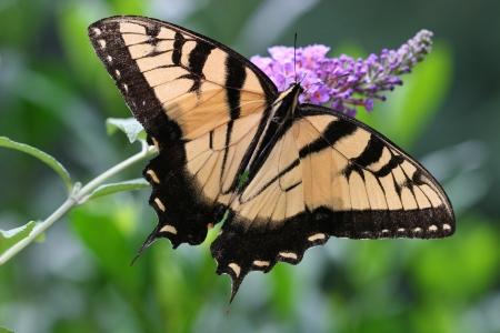 swallowtails: Swallowtail Butterfly Closeup