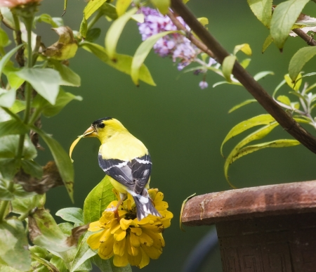 Goldfinch Eating a Flower Petal photo