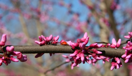 redbud tree: Ladybug on a Redbud Tree Blooming in the Spring