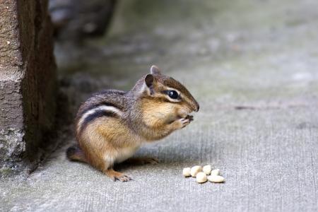 Chipmunk Eating Pellets